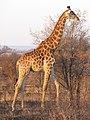 Giraffe (6114390935).jpg