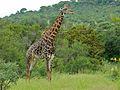 Giraffe (Giraffa camelopardalis) (6045315904).jpg