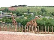 Giraffes south lakes wild animal park