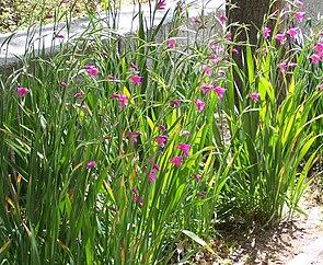 Gladiolus communis.jpg