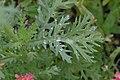 Glebionis segetum leaf (10).jpg