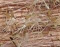 Gnaphalium uliginosum seeds, Moerasdroogbloem zaad (1).jpg
