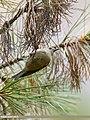 Goldcrest (Regulus regulus) (37716839856).jpg