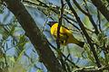 Golden-rumped Euphonia - Ecuador S4E3340 (22856206357).jpg