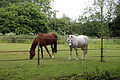 Good Easter, Essex, England ~ horse and pony in paddock 01.JPG
