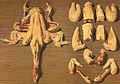 Gouffe-d-Decoupe du poulet.jpg