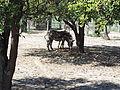 Grévy's zebras (Equus grevyi) at Jacksonville Zoo.jpg