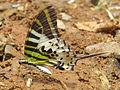 Graphium antiphates - Five-bar Swordtail 24.jpg