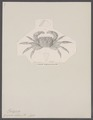 Grapsus bidens - - Print - Iconographia Zoologica - Special Collections University of Amsterdam - UBAINV0274 094 05 0003.tif