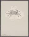 Grapsus bidens - - Print - Iconographia Zoologica - Special Collections University of Amsterdam - UBAINV0274 094 05 0003.tif