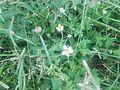 Grass flowers - 10.jpg
