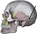 Gray188-Squamosal suture.png