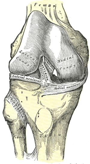Anterior cruciate ligament - Image: Gray 347