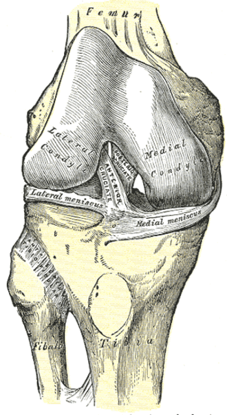 Superior tibiofibular joint - Right knee-joint, from the front, showing interior ligaments.