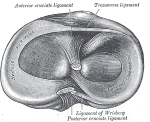 Medial meniscus - Head of right tibia seen from above, showing menisci and attachments of ligaments. (Medial meniscus visible at left.)