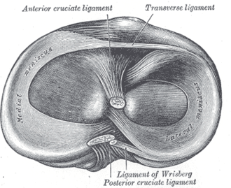 Meniscus (anatomy) - Head of right tibia seen from above, showing menisci and attachments of ligaments
