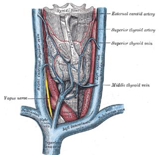 Superior thyroid vein