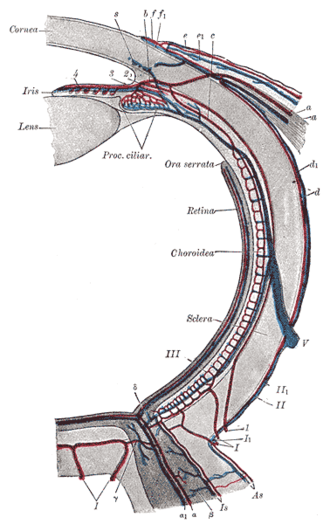 Ora serrata - Diagram of the blood vessels of the eye, as seen in a horizontal section.