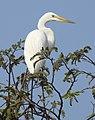 Great Egret Ardea alba Non-br by Dr. Rju Kasambe DSCN5026 (1).jpg