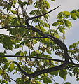 Great Falls National Park - Pantherophis obsoletus - 4.JPG