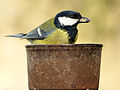 Great Tit (6847927796).jpg