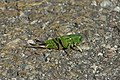 Great green bush-cricket - Cavalletta verde (Tettigonia viridissima).jpg