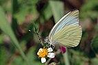 Great southern white (Ascia monuste eubotea) male underside.JPG