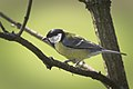 Great tit (34527942906).jpg
