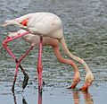Greater Flamingoes (Phoenicopterus roseus) feeding ... - Flickr - berniedup.jpg