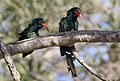 Green Wood Hoopoe, Phoeniculus purpureus, at Mapungubwe National Park, Limpopo, South Africa (30107879641).jpg