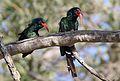 Green Wood Hoopoe, Phoeniculus purpureus, at Mapungubwe National Park, Limpopo, South Africa (30107879641).jpg