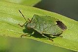 Green shield bug (Palomena prasina) 3.jpg