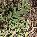 Grewia flava-2124 (2) - Flickr - Ragnhild & Neil Crawford.jpg