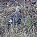 Grey-headed Fish Eagle (5484754969).jpg