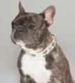 Grey Brindle French Bulldog.png
