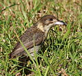 Grey Butcherbird juvenile in grass.jpg