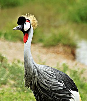 Grey crowned crane - In Serengeti National Park, Tanzania