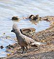 Grey Go-away-bird (Corythaixoides concolor) (32323561244).jpg