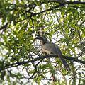 Grey Hornbill.jpg