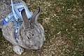 Grey bunny is resting in the park.jpg