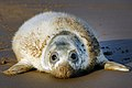 Grey seal pup, Donna Nook - geograph.org.uk - 288340.jpg
