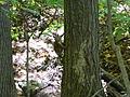 Griffy Woods - squirrel - P1100477.JPG