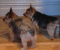 Grizzle and Black and Tan Norwich Terriers.png