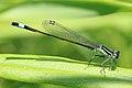 Große Pechlibelle Ischnura elegans 6054.jpg