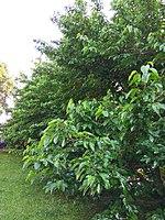 Gryshko Botanical Garden (May 2019) 12.jpg