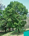 Guanandi jacareúba santamaria palmario Calophyllum brasilense (9455680942).jpg