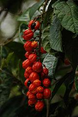 Fruta del guaraná