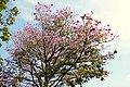 Guayacán rosado (Tabebuya chrysantha) - Flickr - Alejandro Bayer.jpg