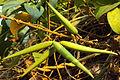 Gymnema sylvestre beans.jpg