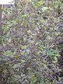 Hương nhu tía - Ocimum tenuiflorum.JPG